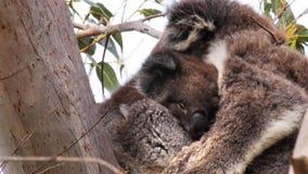 Koala del bebé almacen de metraje de vídeo
