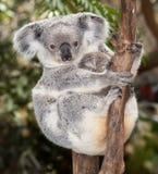 Koala del bebé Fotografía de archivo