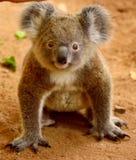 Koala del bebé en la tierra imagen de archivo