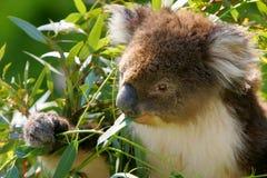 Koala dell'Australia Fotografie Stock