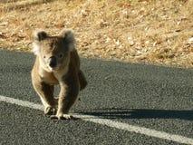 Koala, der auf Straße geht stockfotografie
