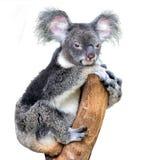 Koala, der die Kamera lokalisiert auf weißem Hintergrund betrachtet lizenzfreies stockfoto