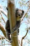 Koala, der in einem Baum hängt Stockfotografie