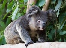 Koala, der entlang einen Klotz kriecht Lizenzfreies Stockbild