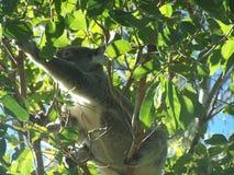 Koala, der für Lebensmittel erreicht Stockbild