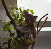 Koala, der herum isst und schaut stockfotografie