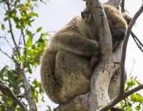 Koala, der im Baum, große Ozean-Straße, Süd-Victoria, Australien schläft Stockbilder