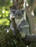 Koala, der im Baum sitzt Lizenzfreie Stockfotografie