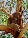 Koala, der im Eukalyptusbaum schläft lizenzfreies stockbild