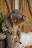 Koala, der im Zoo schläft Lizenzfreies Stockbild