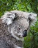 Koala, der zurück schaut Lizenzfreie Stockfotografie