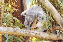 Koala di sonno Immagini Stock
