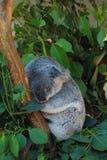 Koala di sonno Immagine Stock Libera da Diritti