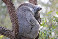 Koala di sonno Fotografia Stock