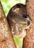 Koala di sonno Fotografie Stock