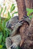 Koala di sonno sull'albero di eucalyptus fotografia stock