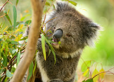 Koala die bladeren in Melbourne eten royalty-vrije stock foto
