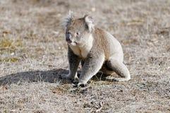 Koala die een gang neemt Stock Foto's