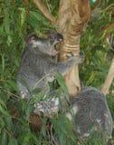 Koala die het zeldzame tonen van tanden heeft Stock Afbeeldingen