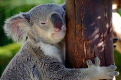 Koala die Houten Pool koesteren Stock Afbeeldingen