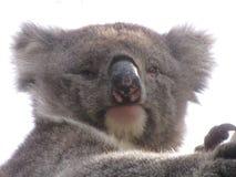 Koala die leuk zoals kijken royalty-vrije stock afbeelding