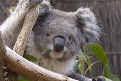Koala die van de takken kijkt royalty-vrije stock afbeeldingen