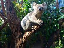 Koala divertida imagenes de archivo