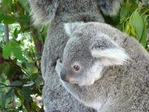 Koala do bebê Fotografia de Stock