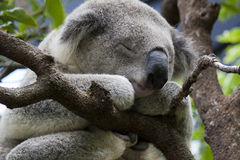 Koala do sono Imagem de Stock