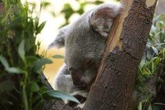 Koala do sono Fotografia de Stock