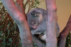 Koala do sono Imagens de Stock Royalty Free