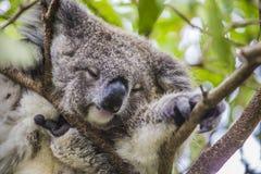 Koala do sono na árvore de eucalipto imagens de stock