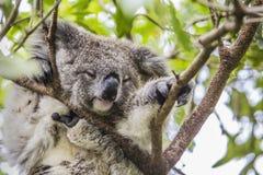 Koala do sono na árvore de eucalipto fotos de stock