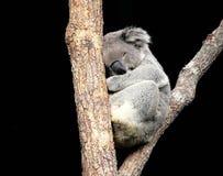 Koala dormant dans l'arbre Images libres de droits