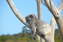 Koala dormant dans un arbre de gomme Photographie stock libre de droits