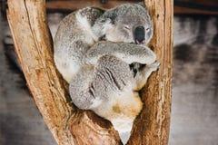 Koala, dormindo fotografia de stock