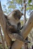 Koala dozing away on eucalyptus tree. Koala dozing away on eucalyptus tree on Phillip Island in Victoria, Australia Royalty Free Stock Photography