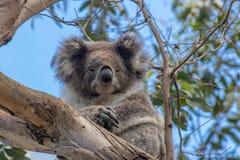 Koala dozing in tree at Kennett River royalty free stock image