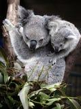 Koala e cub svegli Fotografia Stock Libera da Diritti