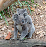 Koala e koala del bambino Fotografia Stock Libera da Diritti