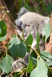 Koala eating Stock Image
