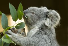 Koala eating Royalty Free Stock Photo
