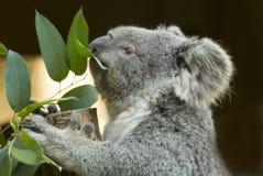 Koala Eating Royalty Free Stock Photo