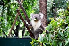 Koala eating Royalty Free Stock Photography