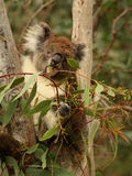 Koala eating Eucalyptus Stock Image