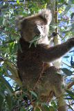 Koala Eating Eucalyptus stock photo