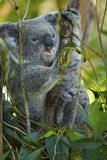 Koala eating eucalyptus leaf Stock Photo