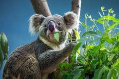 Koala is eating eucalyptus leaves. stock image