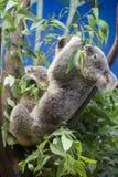 Koala eating Stock Photos