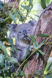 Koala eating leafs on the tree Stock Images